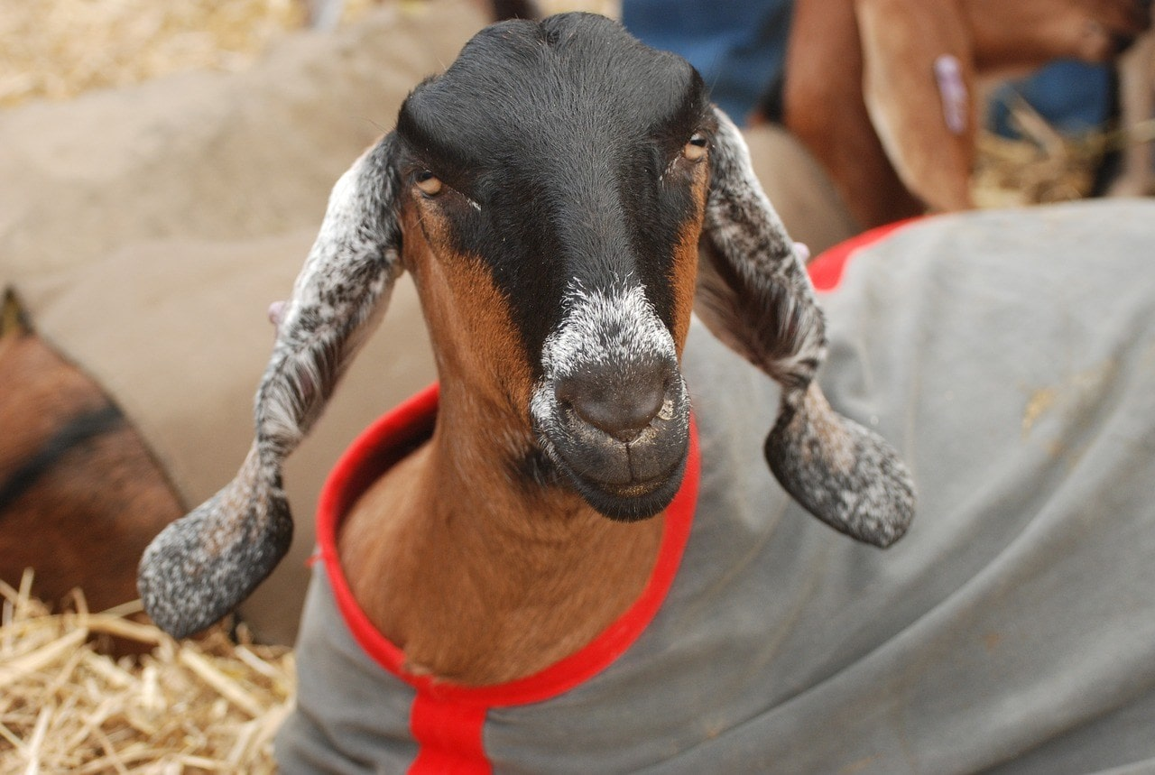 anglo nubian goat with clothes