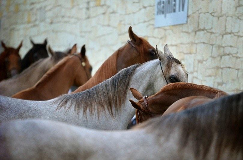 arabian-horse-pixabay (2)