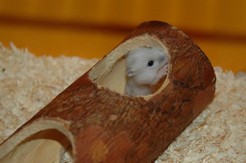baby hamster-pixabay