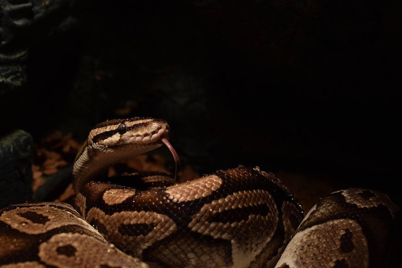 ball python in the dark