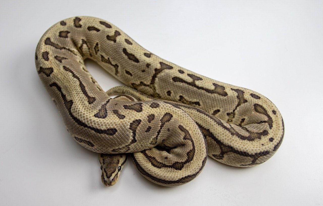 ball python in white background