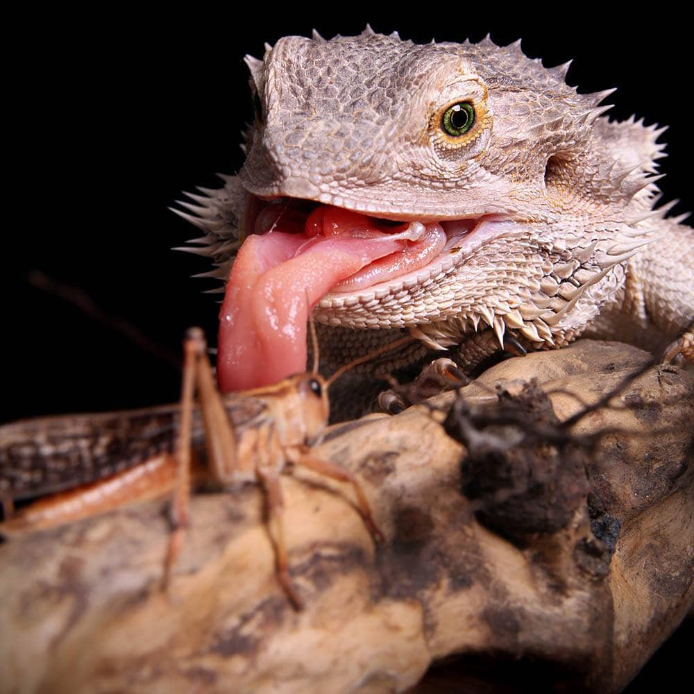 bearded dragon catching grasshopper