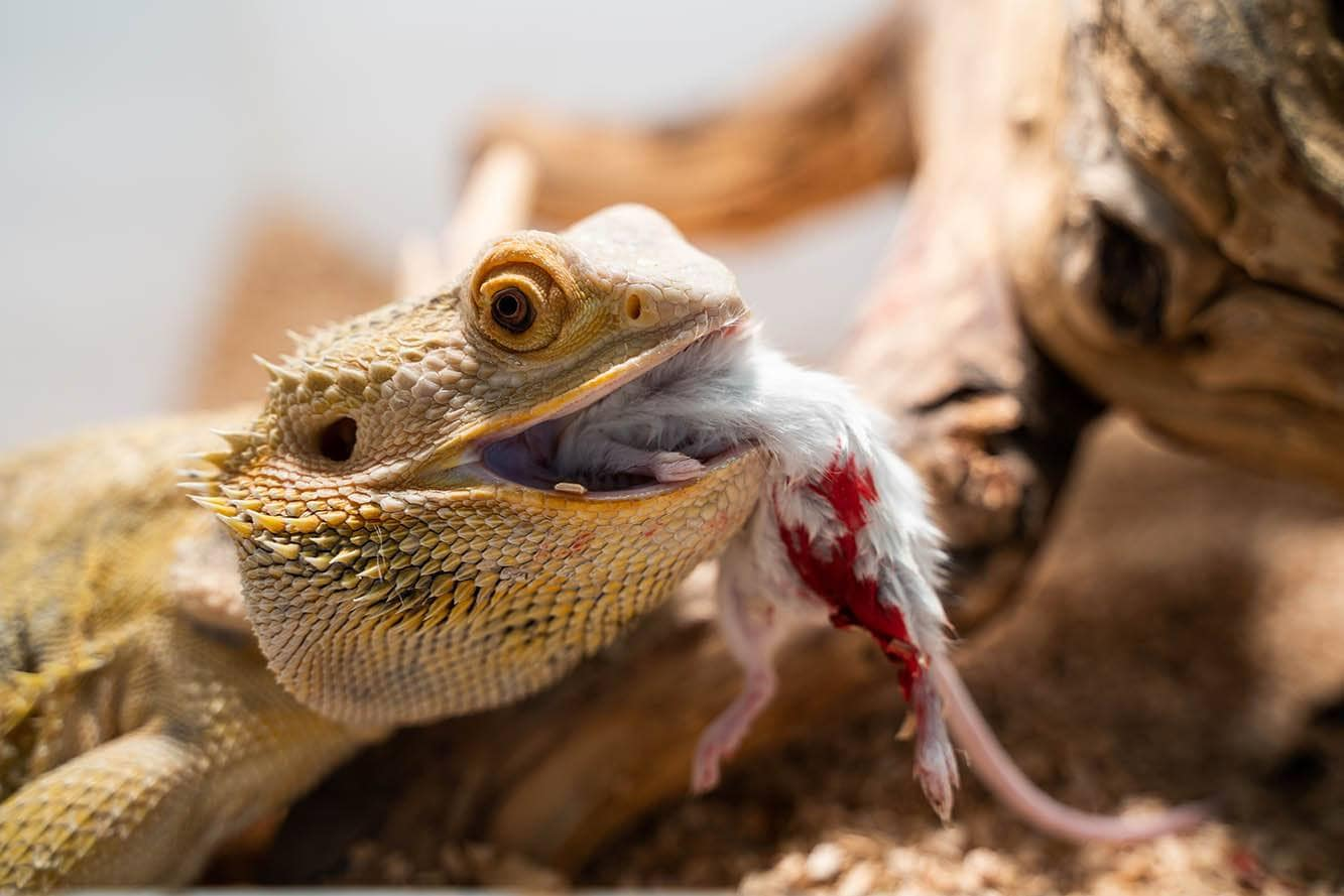 bearded dragons eating white mouse