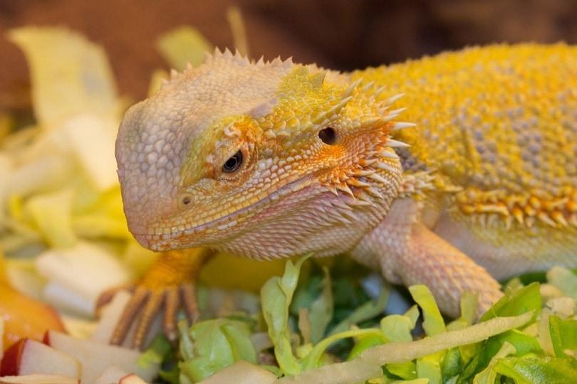 bearded-dragon-eating_Maayke-Bakker_shutterstock