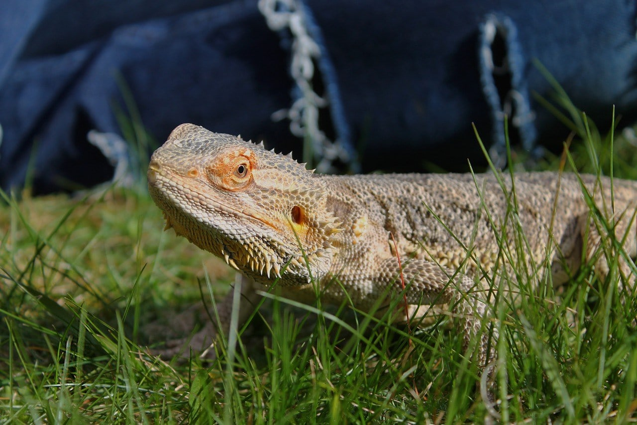 bearded dragon in the grass