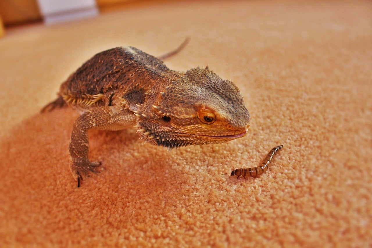 bearded dragon looking at a mealworm