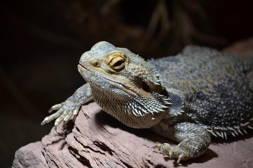 bearded-dragon-DJDStuttgart, Pixabay