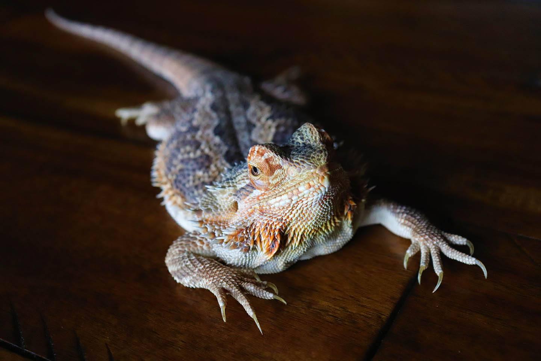 bearded dragon turning black