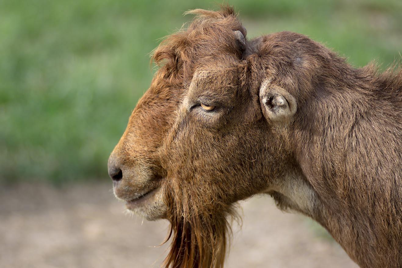 bearded LaMancha goat