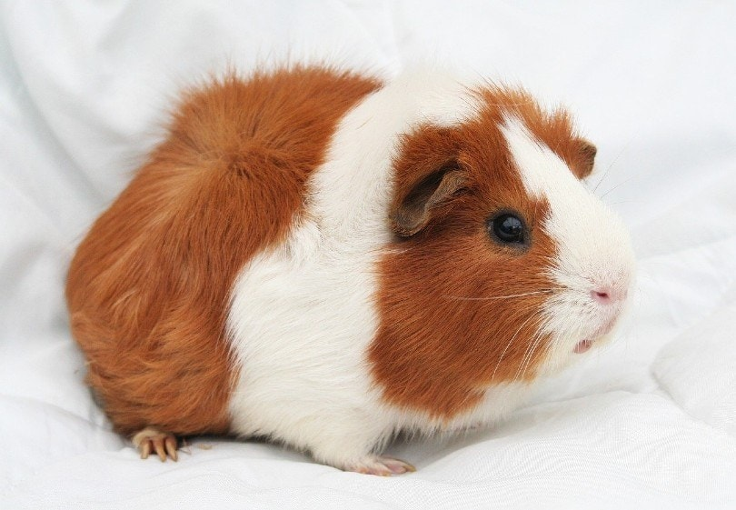 bi color guinea pig