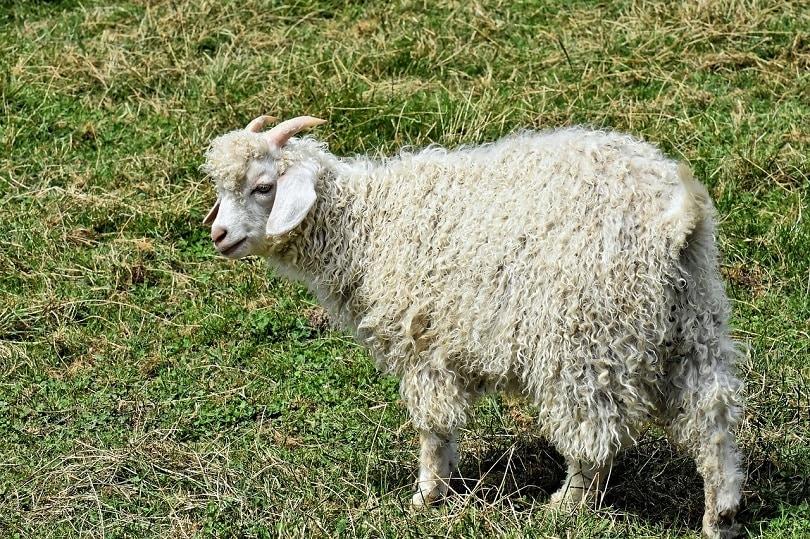 billy-goat-pixabay (2)