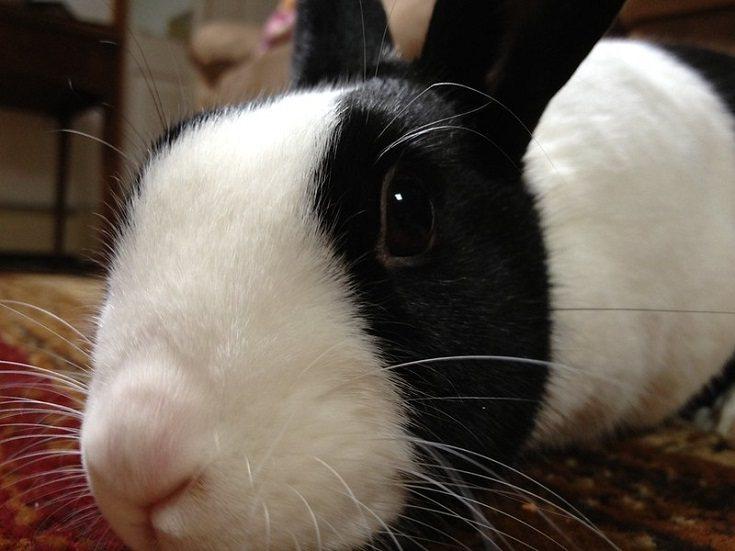 black white dutch rabbit close up