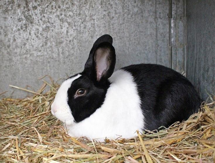 black white dutch rabbit