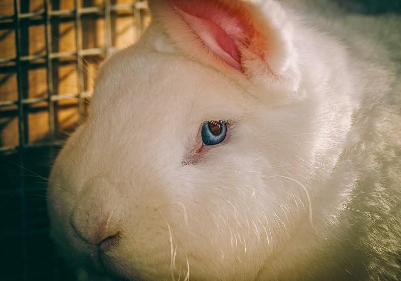 blue eyes-rabbit-pixabay