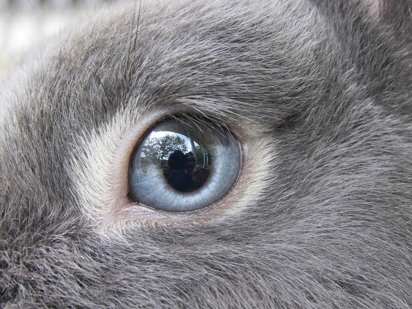 blue grey eyes rabbit-pixabay