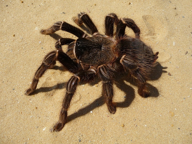 brazilian red tarantula-pixabay