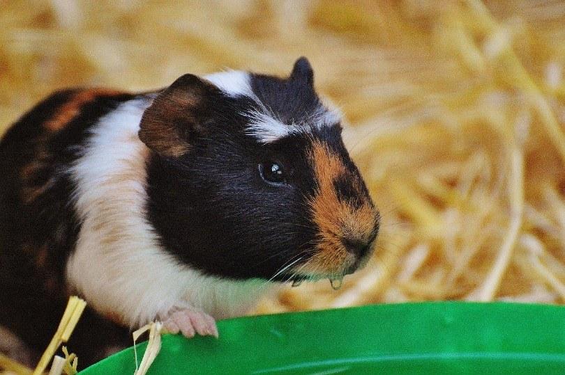 brindle guinea pig