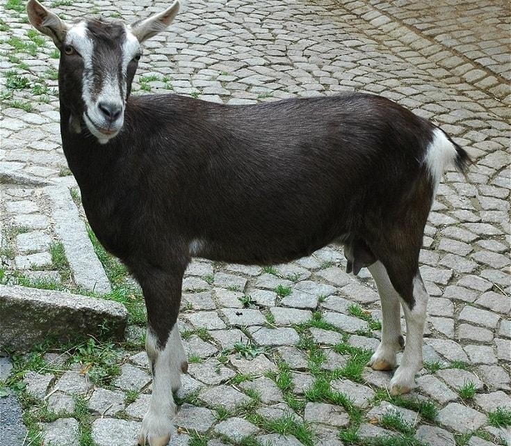 british alpine goat