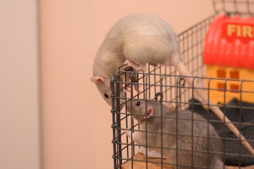 british blue rat
