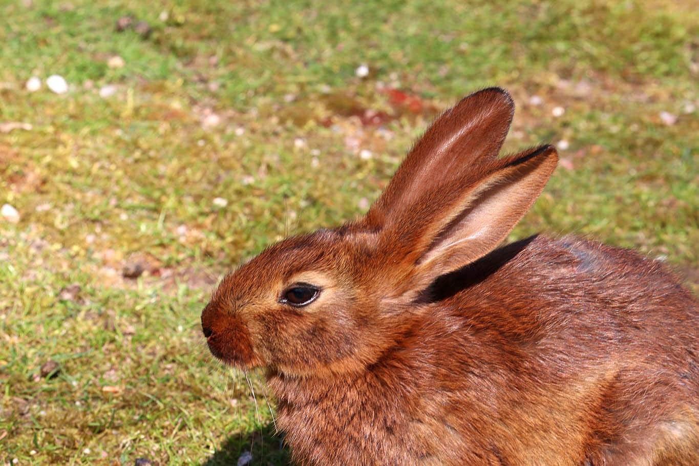 Brown belgian hare