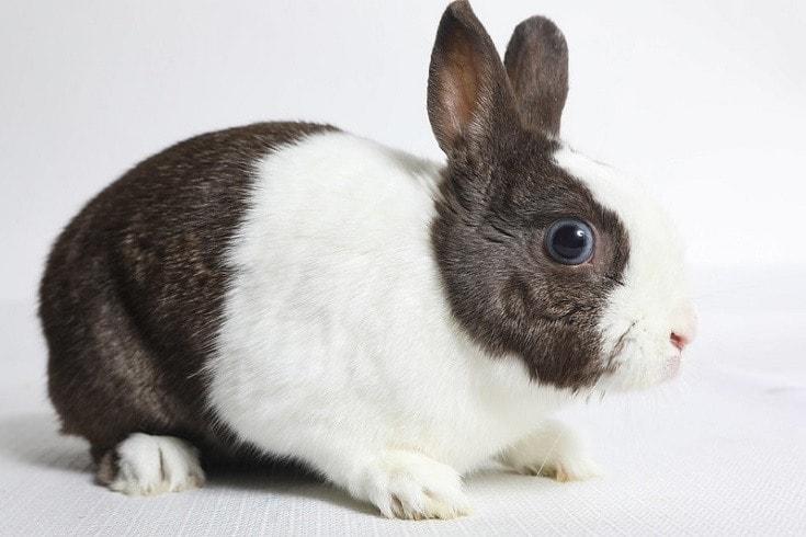 brown white dutch rabbit