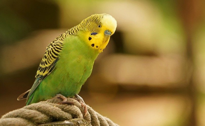budgie on a rope