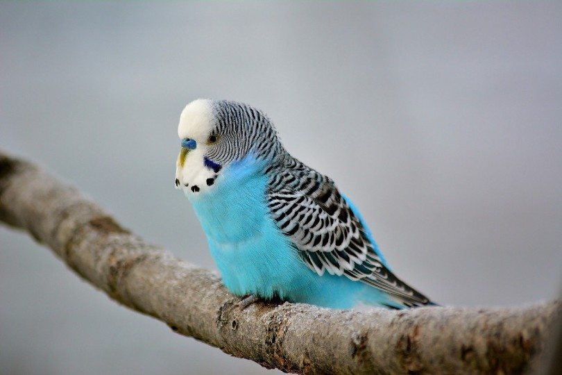 budgie on a tree branch