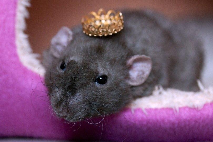 burmese rat