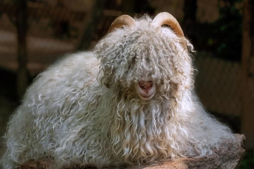 cashmere goat 2 pixabay