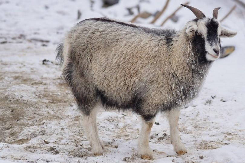 cashmere goat-pixabay