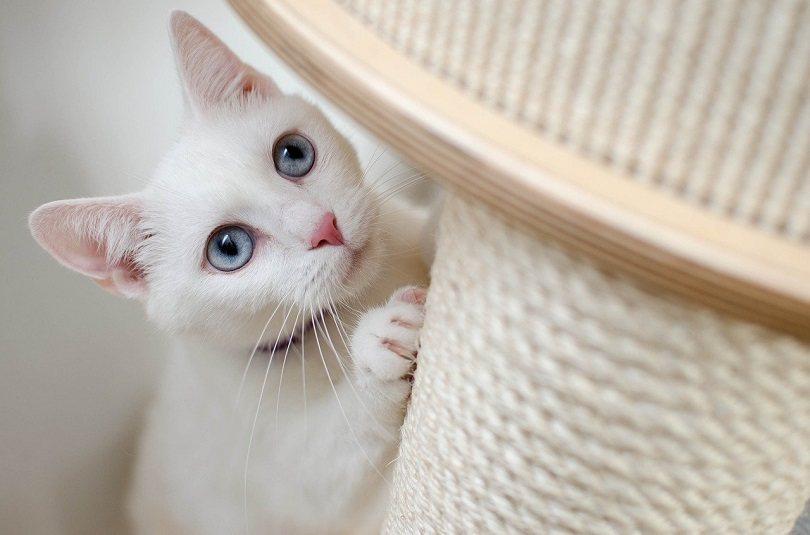 cat scratching-pixabay