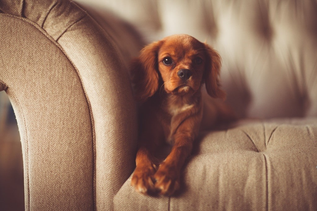 cavalier king charles puppy on couch