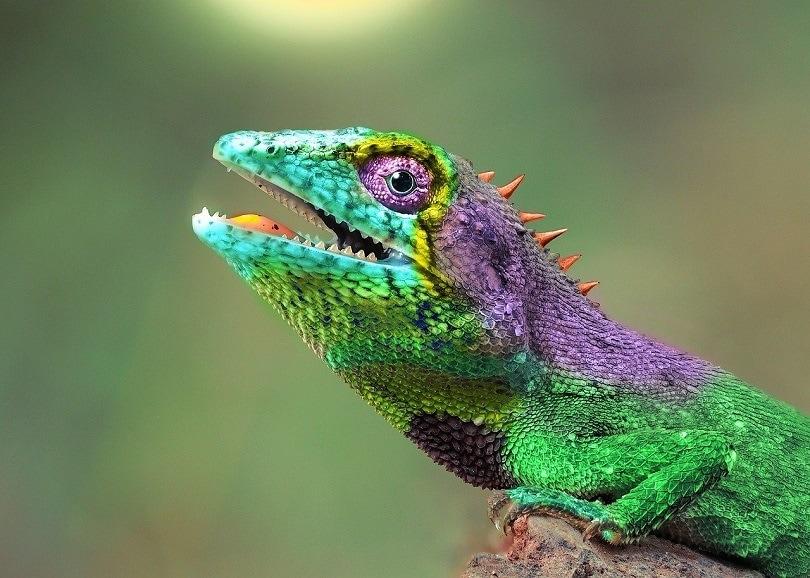 chameleon-pixabay