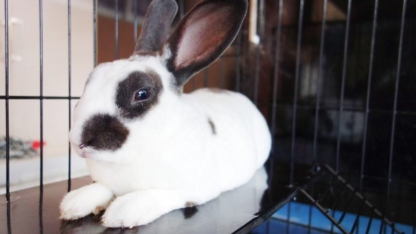 checkered-rabbit-portrait_izarizhar_shutterstock