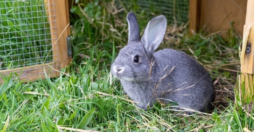 chinchilla rabbit in front of the barn