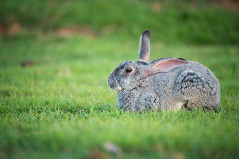 chinchilla rabbit sitting on green grass