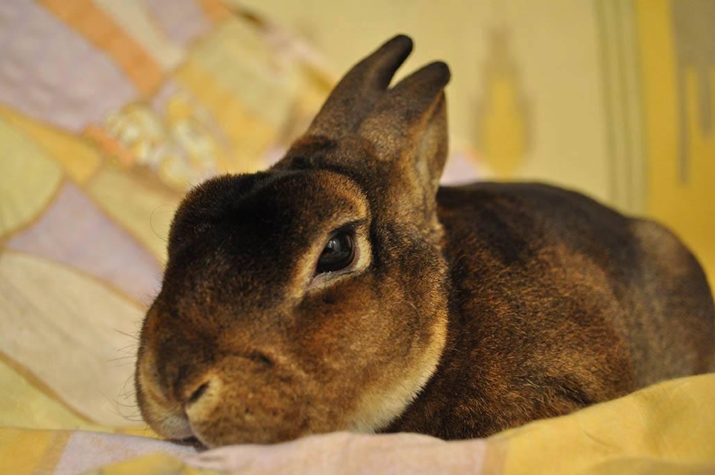 chocolate rex rabbit