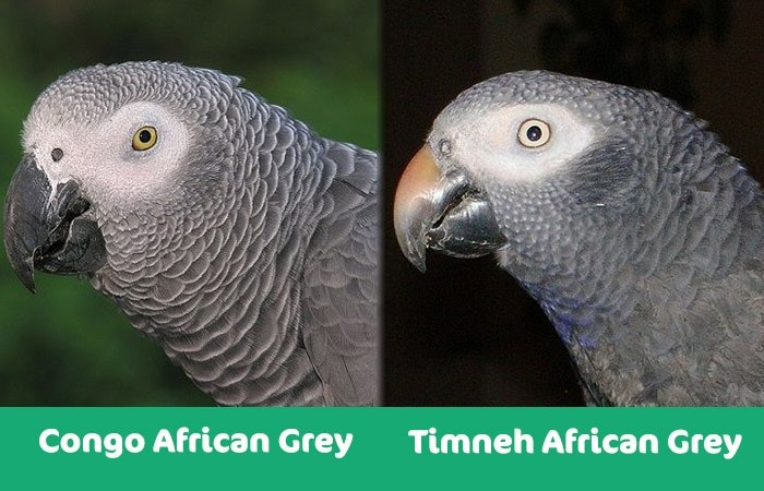 congo african vs timneh african parrot