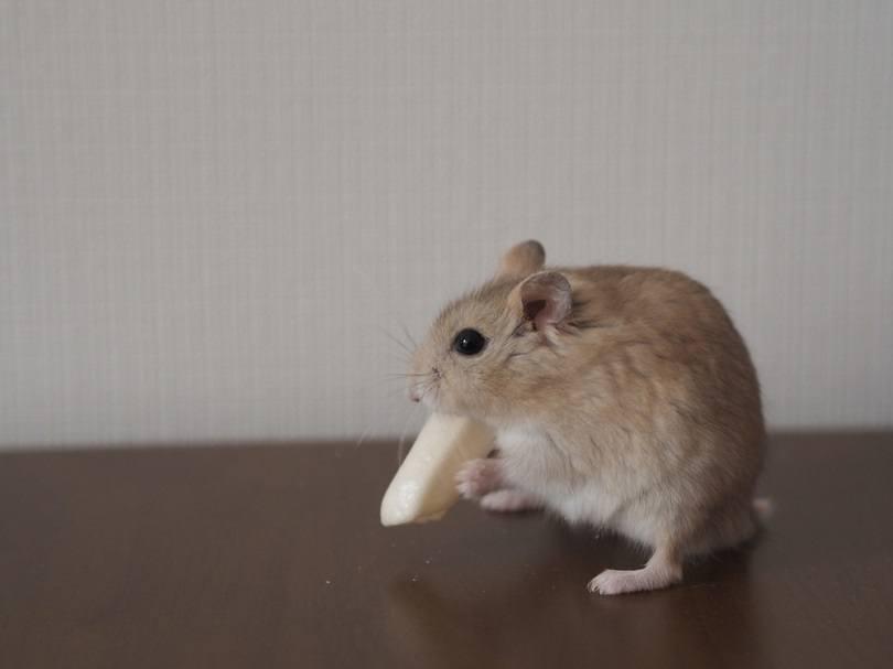cute-hamster-eating-potato-stick_jin-hyuk-huh_shutterstock