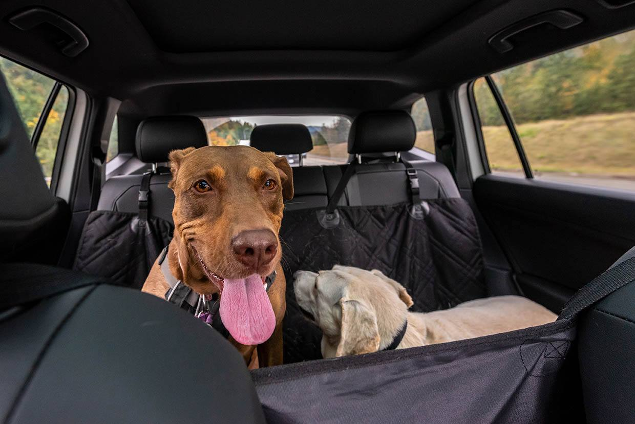 dogs in back seat
