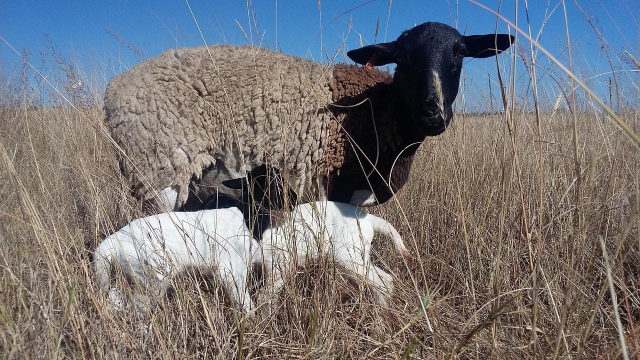 dorper sheep and lambs
