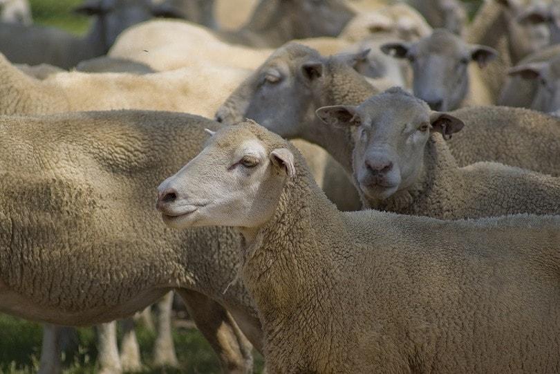 dorper sheep-pixabay