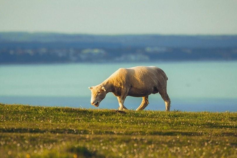 dorset sheep-pixabay