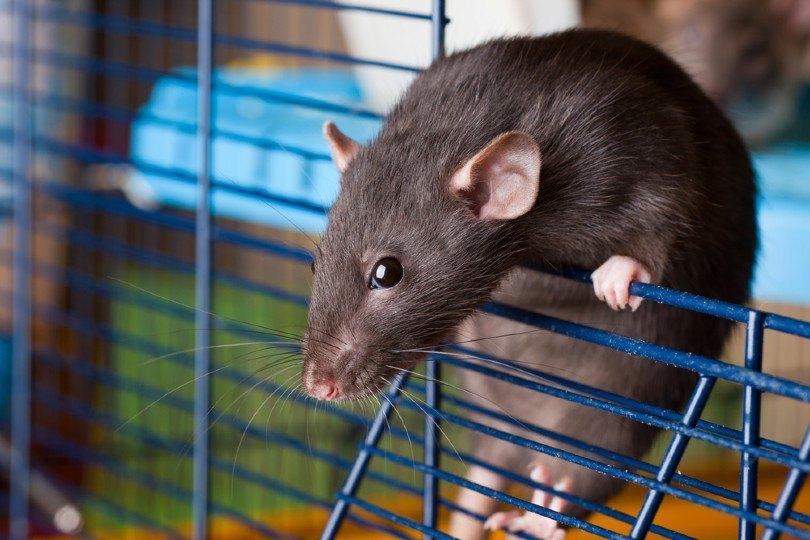 dumbo rat in cage