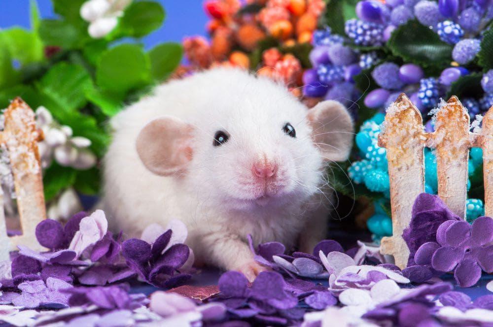 Baby dumbo rat in flowers