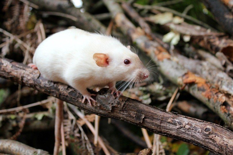 dumbo rat