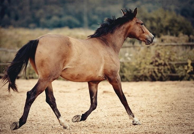 dun colored horse