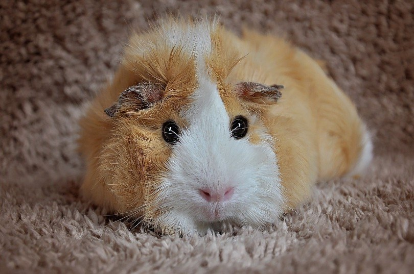 dutch guinea pig