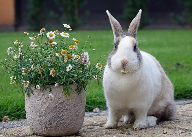 dutch rabbit beside a flower vase