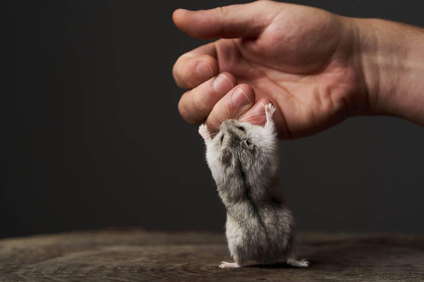 dwarf hamster bites finger